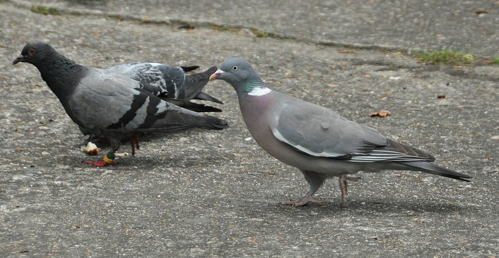 Common wood pigeon right with rock pigeon