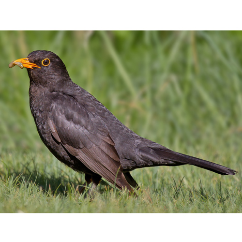 Common-Blackbird-Wikipedia-500px