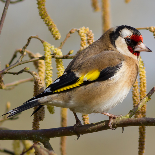 European-Goldfinch-Wikipedia-500px