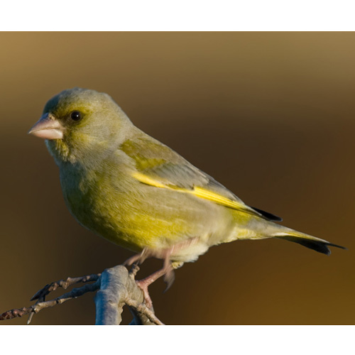 European-Greenfinch-Wikipedia-500px