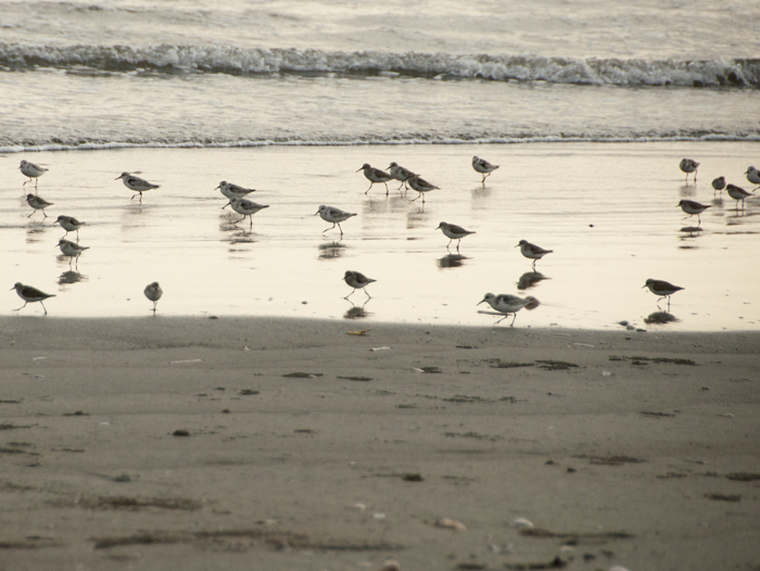 Shorebirds. In the evening.