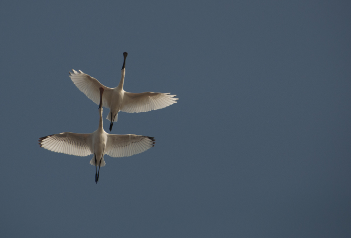 Black-faced Spoonbills flying overhead (note the black primary tips of an immature)