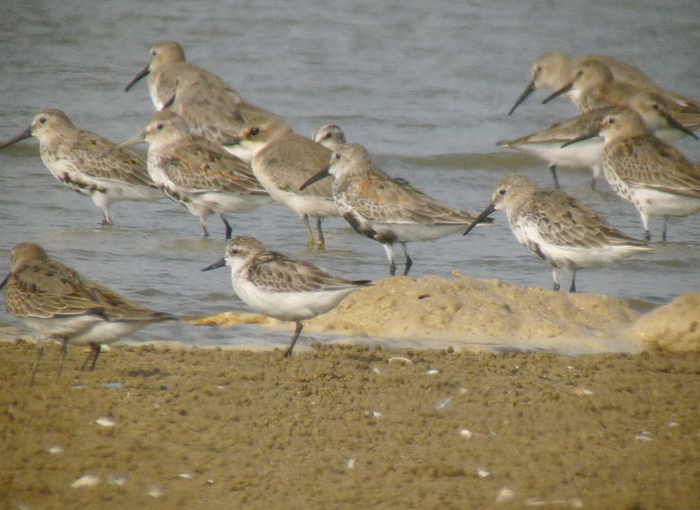 A Spoon-billed Sandpiper (center left) with Dunlin and a Lesser Sand-Plover © Jason Loghry (Birds Korea)