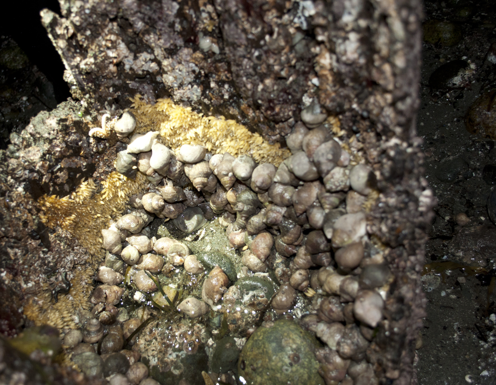 Tidepooling_at_Night_Golden_Gardens_7511
