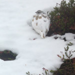 White-tailed Ptarmigan, Nemesis No More