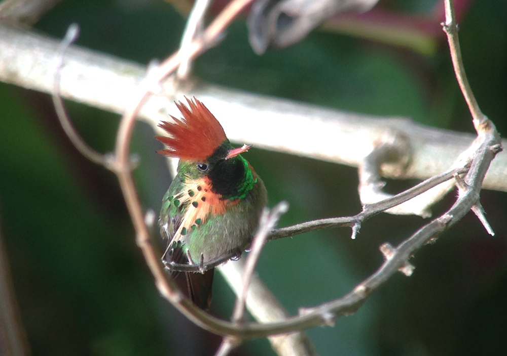 Tufted_Coquette_3854