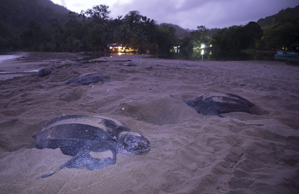 Trinidad_Grand_Riviere_Leatherback_Turtle_3154