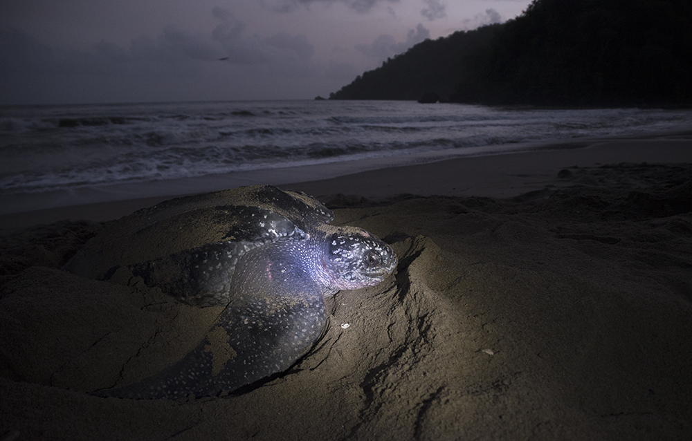 Trinidad_Grand_Riviere_Leatherback_Turtle_3176
