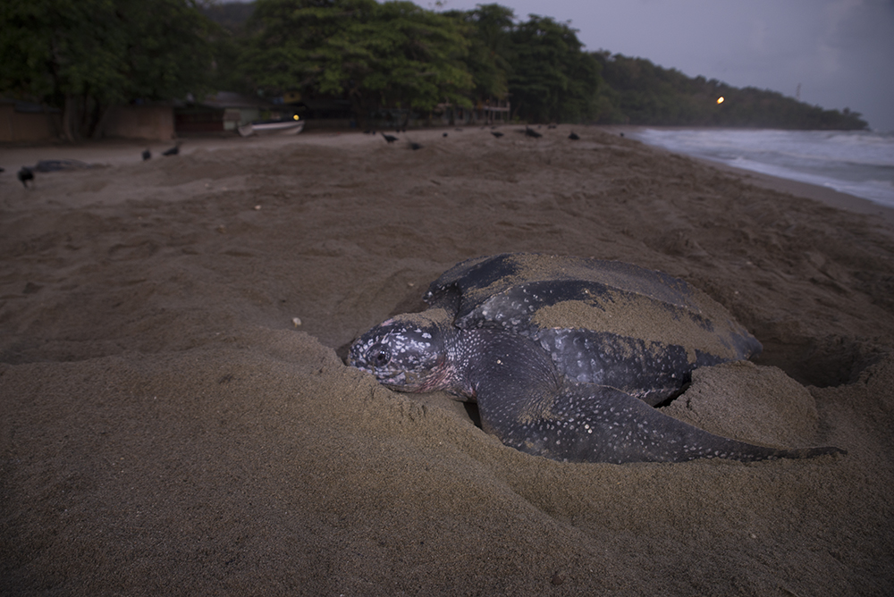 Trinidad_Grand_Riviere_Leatherback_Turtle_3198