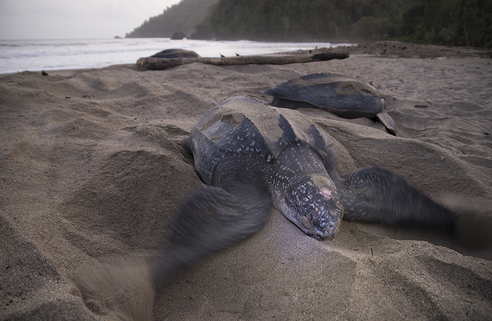 Trinidad_Grand_Riviere_Leatherback_Turtle_3247