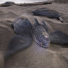 Cold-blooded Volkswagens: Seeking Leatherback Turtles in Trinidad