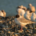 Swallow-tailed Gull: An ABA Rarity for the Ages
